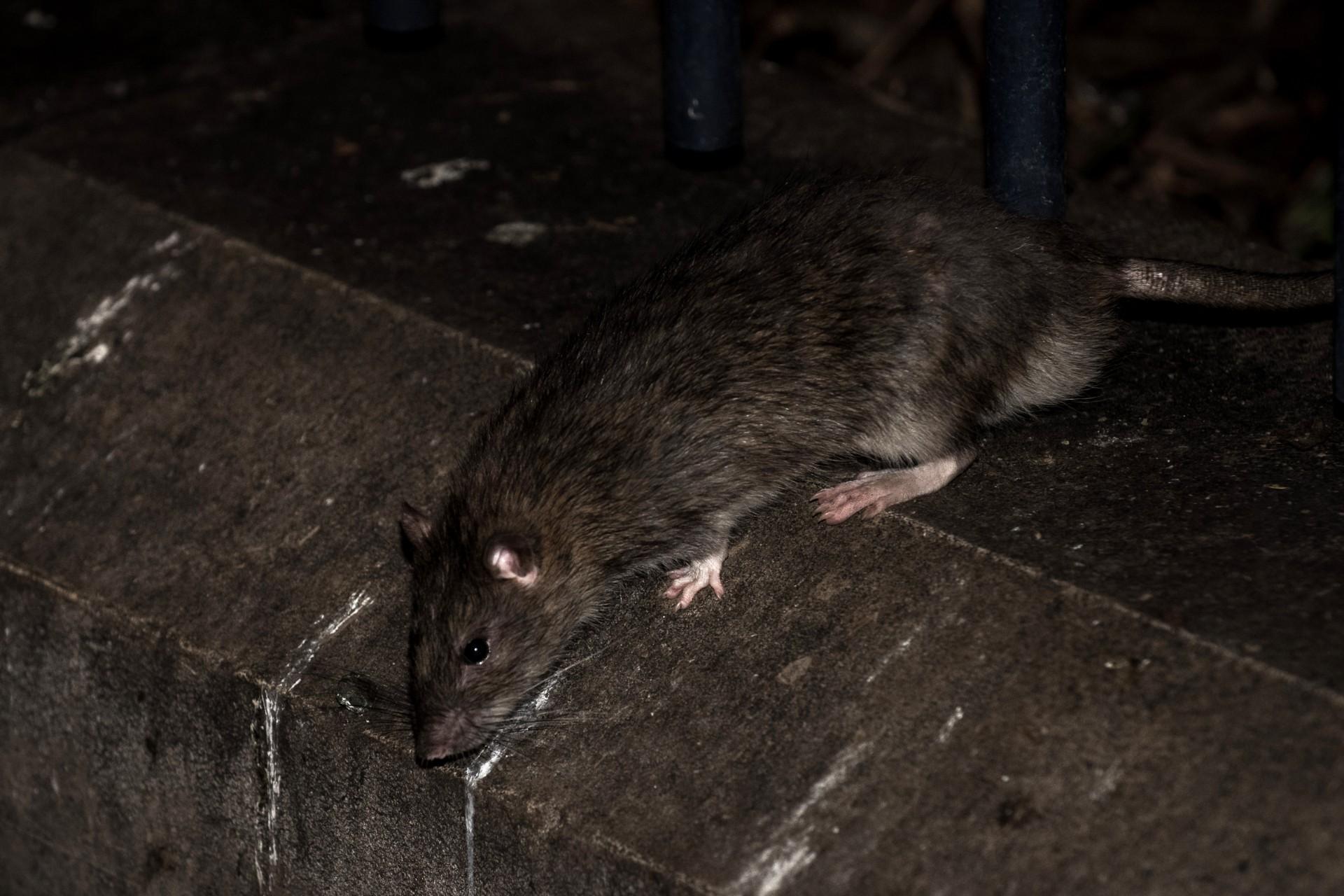 New York : des dizaines de rats attaquent un employé du métro