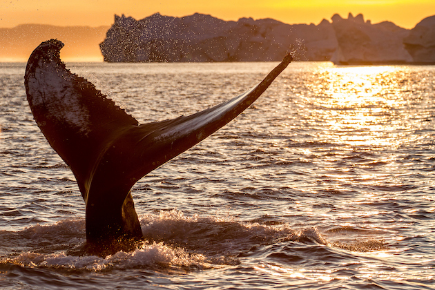humpback_whale_tail_fin_in_midnight_sun_among_icebergs_photo_by_samuel_letecheur_-_visit_greenland_5d5eab0a3ced5.jpeg