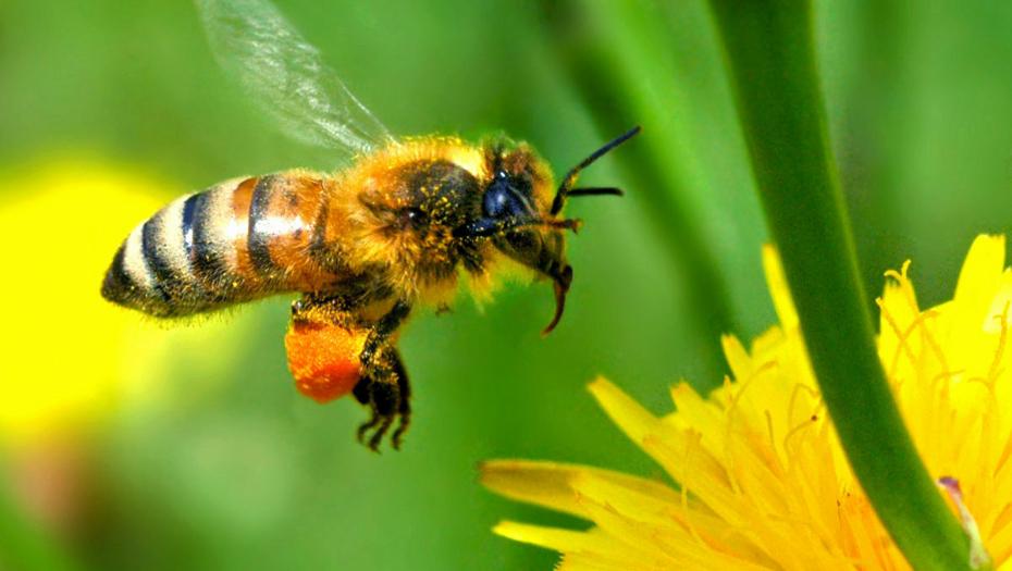 A l'échelle de ces insectes, la production d'un kilo de miel représente un travail de titan.