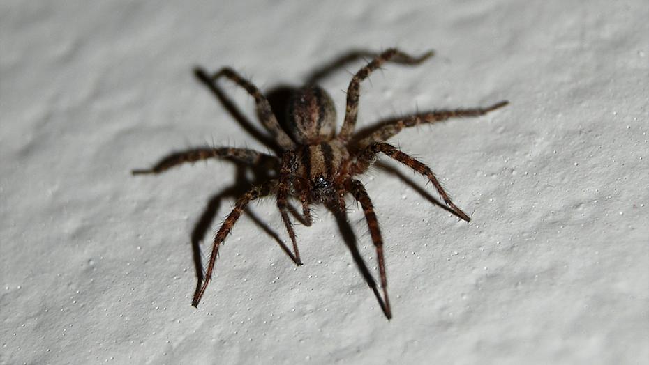 elle vit avec une araign e loup sous sa douche depuis trois mois. Black Bedroom Furniture Sets. Home Design Ideas