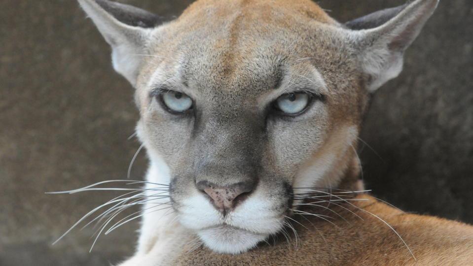Une sous-espèce de puma s'est officiellement éteinte aux Etats ...