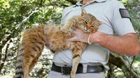 """Un agent de l'Office national de la chasse et de la faune sauvage tient un """"ghjattu-volpe"""" (""""chat-renard"""") dans la forêt d'Asco, en Corse, le 12 juin 2019 [PASCAL POCHARD-CASABIANCA / AFP]"""