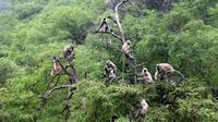 Les langurs se trouvent dans le nord du Vietnam. Ils font partie des animaux particulièrement menacés d'extinction.