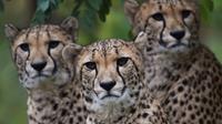 Les guépards bientôt dans la liste des animaux disparus ?