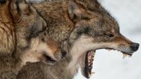 «Il était calme et a dormi sur mes jambes», a expliqué Rando Kartsepp l'un des héros du loup.