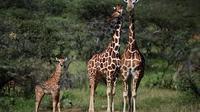 Les girafes sont particulièrement menacées au Kenya.