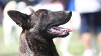 Ces dernières semaines, environ 200 chiens ont présenté les mêmes symptômes (diarrhée, vomissements hémorragiques, affaiblissement fulgurant), et 25 d'entre eux sont morts.