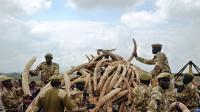 Au Kenya, le gouvernement a saisi 105 tonnes d'ivoire en avril 2016.
