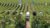 Des travailleurs dans les vignes près de Reims, le 26 septembre 2005 [Francois Nascimbeni / AFP/Archives]