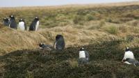 Photo prise le 01 juillet 2007 d'un groupe de manchots papous nidifiant sur l'île de la Possession dans l'archipel des Crozet (Terres Australes et Antarctiques Françaises) [Marcel Mochet / AFP/Archives]