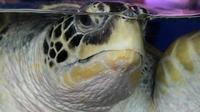 Une tortue de 320 kg et 2 mètres de long, portant un badge de Trinidad-et-Tobago dans les Caraïbes, a été retrouvée lundi matin en France par des vacanciers sur une plage de la mer Méditerranée