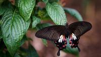 Un papillon au Museum d'Histoire naturelle à Londres le 25 mars 2013 [Leon Neal / AFP]