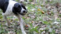 Un chien rapporte une truffe à son maître