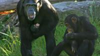 Des chimpanzés en Australie [Anoek de Groot / AFP/Archives]