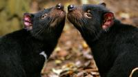 Des diables de Tasmanie en captivité à Taranna en Australie [Anoek de Groot / AFP/Archives]