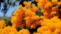 """Les fleurs d'un """"arbre de Noël de l'Australie occidentale"""" (Nuytsia floribunda) [Greg Wood / AFP/Archives]"""
