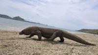 Un dragon de Komodo de trois mètres de long et pesant 70 kilos, sur l'île du même nom, le 2 décembre 2010