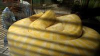 Le plus grand des pythons jamais trouvé en Floride, un reptile de plus de 5 m et 70 kg, a été attrapé dans le Parc national des Everglades, avec 87 oeufs, ce qui constitue aussi un record, ont annoncé mardi des scientifiques.[AFP]