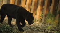 Une panthère noire [Peter Parks / AFP/Archives]