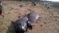Des baleines-pilotes échouées sur une plage de l'île de Savu en Indonésie, le 2 octobre 2012 [ / AFP/Archives]