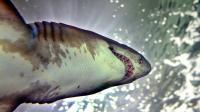 """Un requin """"féroce"""", espèce qui n'a a priori jamais attaqué l'homme, a été retrouvé lundi sur les côtes de la Manche à Agon-Coutainville, suscitant depuis les interrogations des spécialistes habitués à le trouver en eaux profondes et chaudes.[AFP]"""
