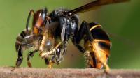 Un frelon asiatique dévorant une abeille [Jacques Blot / AFP/Archives]