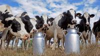 Des vaches dans un pré à Sainte-Colombe-en-Bruilhois dans le sud ouest de la France [Jean-Pierre Muller / AFP/Archives]