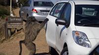 Un babouin ouvre la porte d'une voiture, dans la banlieue du Cap [Gianluigi Guercia / AFP/Archives]