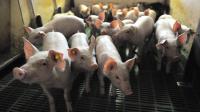 Des porcs [Denis Charlet / AFP/Archives]