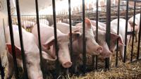Des cochons dans un élevage à Wambrechies près de Lille, le 28 juillet 2010 [Denis Charlet / AFP/Archives]