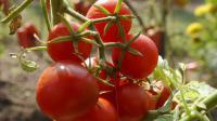 Une plant de tomates [Alain Jocard / AFP/Archives]