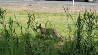 Un wallaby (petite espèce de kangourou) appartenant à un élevage privé est en fuite depuis mercredi en Charente, où il a été vu sur la bande d'arrêt d'urgence d'une route nationale et n'a pu être rattrapé en dépit de l'intervention des pompiers, a-t-on appris de sources concordantes.[ANP]