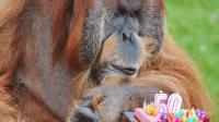 L'orang-outan Major lors de son 50e anniversaire, le 17 juillet 2012, au zoo de La Boissière-du-Doré, en Loire-Atlantique [Alain Jocard / AFP/Archives]