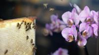 Des abeilles font des allers-retours entre leur ruche et des orchidées [Eric Feferberg / AFP/Archives]