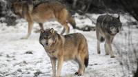 Des loups dans le parc animalier de Sainte-Croix à Rhodes (Moselle), le 12 décembre 2012 [Jean-Christophe Verhaegen / AFP]