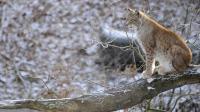 Un lynx dans le parc de Sainte-Croix, le 12 décembre 2012 [Jean-Christophe Verhaegen / AFP/Archives]