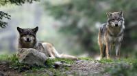 Des tirs de défense du loup, une espèce protégée, ont été autorisés par la préfecture des Hautes-Alpes dans quatre communes après de nouvelles attaques récentes attribuées à l'animal, a annoncé mercredi la préfecture.[AFP]