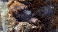 Un bébé lémurien né au Jardin zoologique de Besançon, photographié le 30 mai 2013 [Sebastien Bozon / AFP]