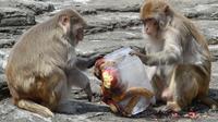 Des macaques rhésus
