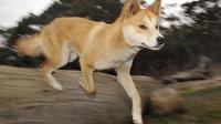 Environ 200 chiens sauvages demeurent sur l'île de Fraser.