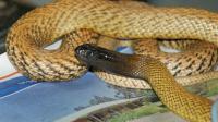 Vingt espèces de serpents parmi les 25 les plus venimeuses au monde vivent en Australie.