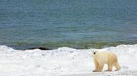 Les ours polaires sont particulièrement menacés par le réchauffement climatique.