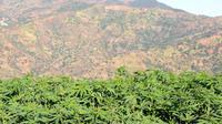 Un champ de cannabis à Issaguen, au Maroc.