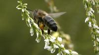 Les abeilles font partie des espèces en danger