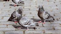 Les pigeons perdent leurs doigts et pattes à cause des cheveux humains jetés par les coiffeurs.