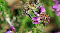 Une abeille qui butine.
