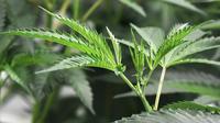 Le cannabis pourrait aider les patients