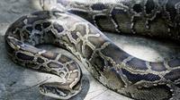 Le ventre du serpent a été ouvert et le corps de la victime trouvé à l'intérieur
