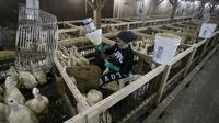 Le gavage des canards à Ferndale (New York), où se trouve l'exploitation Hudson Valley Foie Gras [DON EMMERT / AFP]