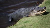 La drogue jetée dans les toilettes se retrouve dans les égouts, et pourrait arriver jusqu'aux alligators du nord de l'Alabama.